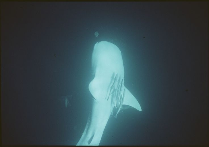 146619PD: Whale shark, off Ninagaloo Reef, 1992 https://encore.slwa.wa.gov.au/iii/encore/record/C__Rb4254772