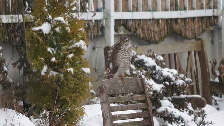 Eurasian Sparrowhawk practicing yoga at our terrace