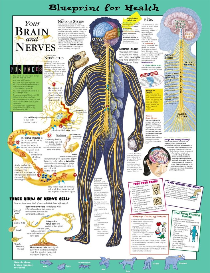 1098 best health images on pinterest my life natural health and blueprint for health your brain and nerves chart 9781587797439 anatomystuff malvernweather Images