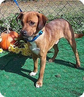 BUSTER see also ROCKO & TOOTSI   Adopted Dog   561067   Marietta, GA   Beagle Mix
