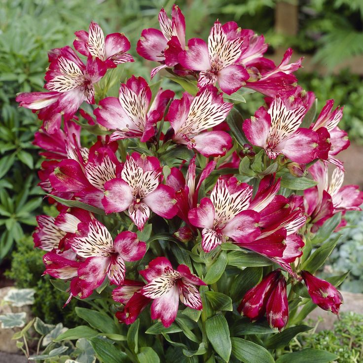 Alstroemeria, commonly called the Peruvian Lily or Lily of the Incas, is a South American genus of about 120 species of flowering plants. Description…