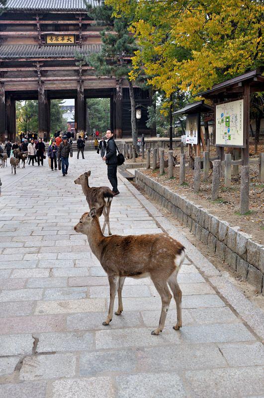 Sika deer in Nara, Japan Copyright: Franz Xaver Huber