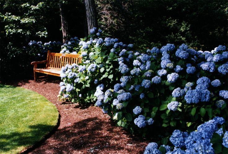 Hortensja ogrodowa 'Nikko Blue' - Hydrangea macrophylla 'Nikko Blue' Szkółka Przytok Rośliny Ozdobne i Owocowe