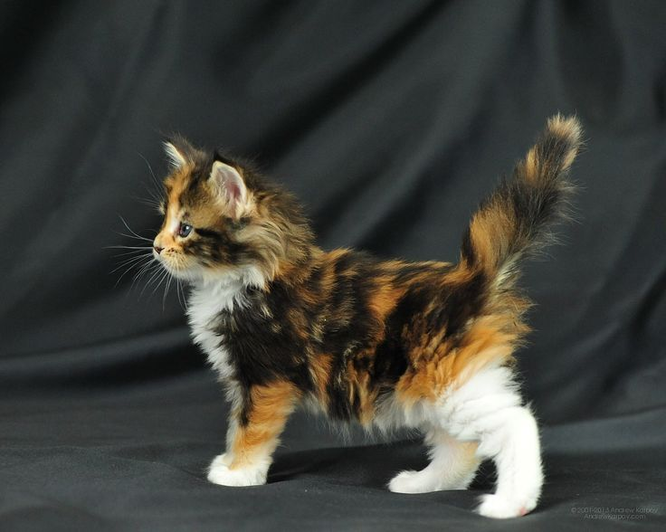 Maine Coon Black Torti Tabby Blotched & White Origami Perfect Cat*UA
