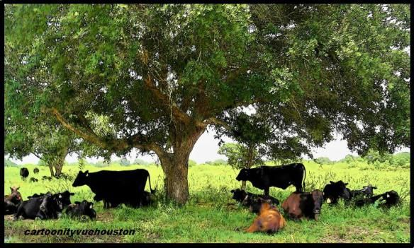 Cows in Shade of Live Oak Pasture near LaWard, Texas