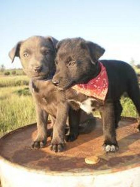 Australian koolie dog photo Koolie, Dogs & Puppies, Pets