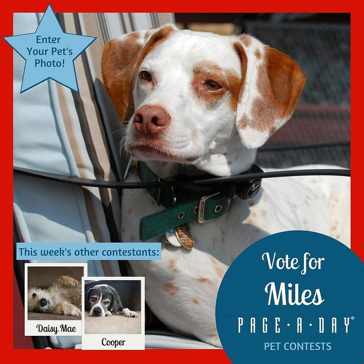 """Miles came to us from Pointer Rescue. He had been found roaming the streets and had been living with temporary families his whole life. When we first met him he was living in a chaotic with 3 other pointers. He calmly came over laid down in front of us and looked up as to say """"you guys are the ones - take me home"""". He is now almost 16 a little slower and stiff in the mornings but still full of life and a joy to us. Vote for Top Dog! http://ift.tt/1P29vGs #365Dogs #petsofpageaday…"""