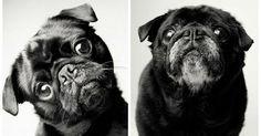 8 fotos que nos demuestran como envejecen los perros