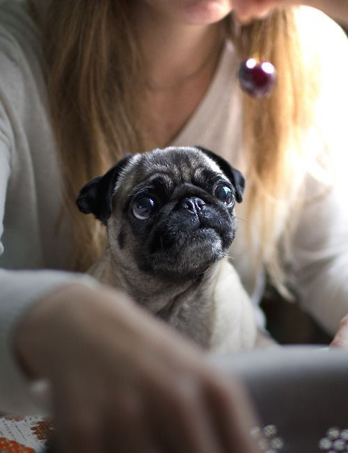 Puggie only has eyes for your sweet, sweet cherry! #pug