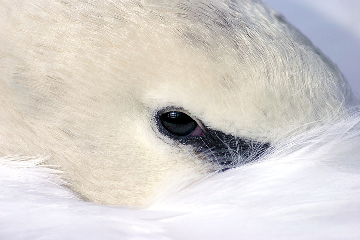 A photo I took of a resting Swan