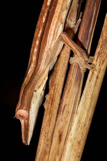 Lined Leaf-tailed Gecko (Uroplatus lineatus)  camouflaged amongst dead palm fronds