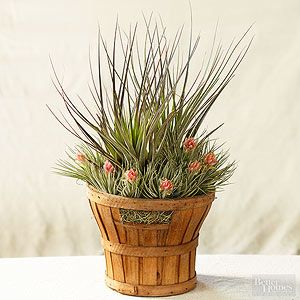 1000 images about air plants tillandsias on pinterest zen gardens air plant display and. Black Bedroom Furniture Sets. Home Design Ideas