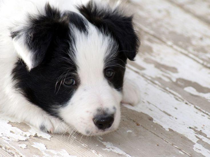 border collie #puppies