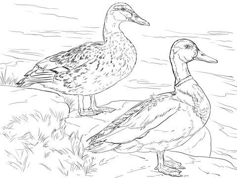 Canard colvert ou canard mallard. mâle et femelle Coloriage
