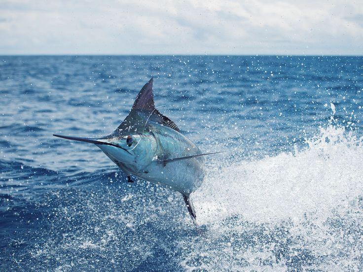 Blue Marlin Costa Rica Fishing