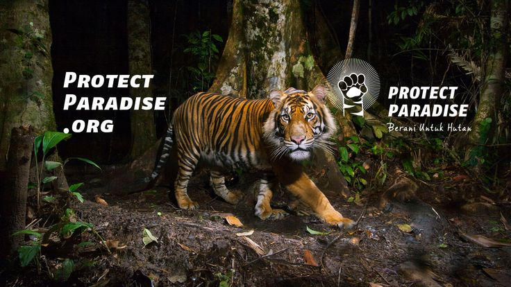 Harimau Sumatera butuh bantuanmu, jangan biarkan ia punah. Bergabunglah dalam gerakan bersama untuk melindungi hutan surgawi Indonesia di www.protectparadise.org
