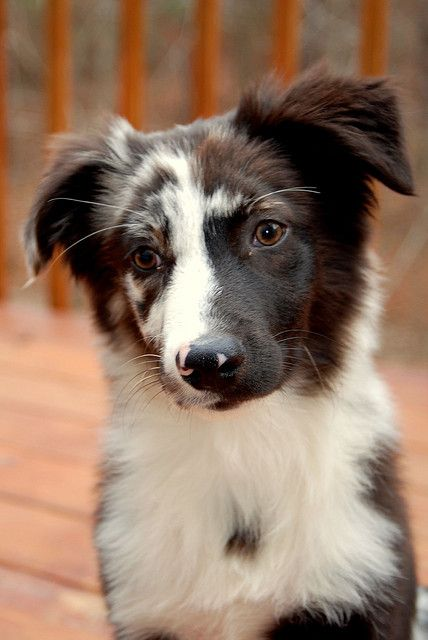 Australian Shepherd Dog  Some of the best dogs in the world I have one and had one just like the one in the picture I love them