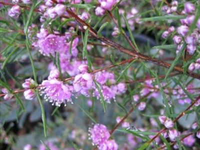 Hypocalyma robustrum • Australian Native Plants Nursery • Plants • 800.701.6517