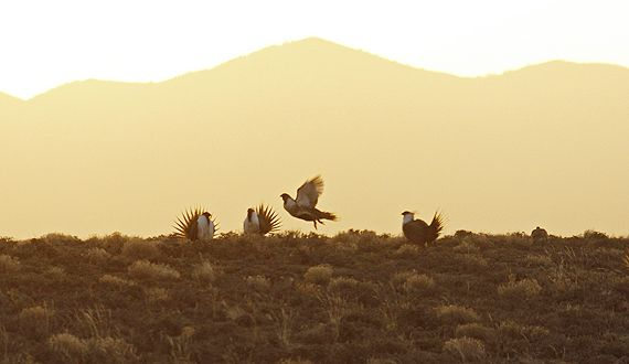 The Bureau of Land Management is considering amendments to land-use plans for greater sage grouse habitat across 10 western states. Interior Secretary Ryan Zinke has made it clear he intends to gut these already weak plans to make it even easier for corporations to frack, drill, and mine in the birds' habitat on public lands.