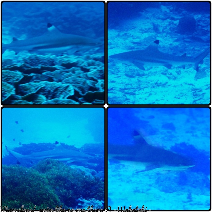 Shark's @ Wakatobi Indonesia
