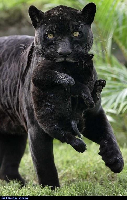 The 25+ best Black panther animal facts ideas on Pinterest ... - photo#41