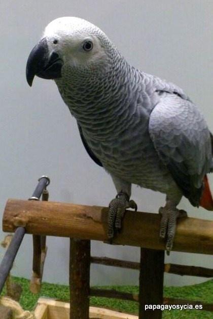 Precioso yaco o loro gris en venta en http://papagayosycia.es la tienda de loros de Madrid
