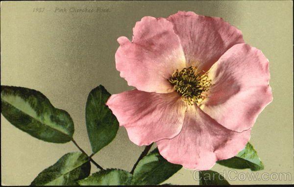 Pink Cherokee Rose