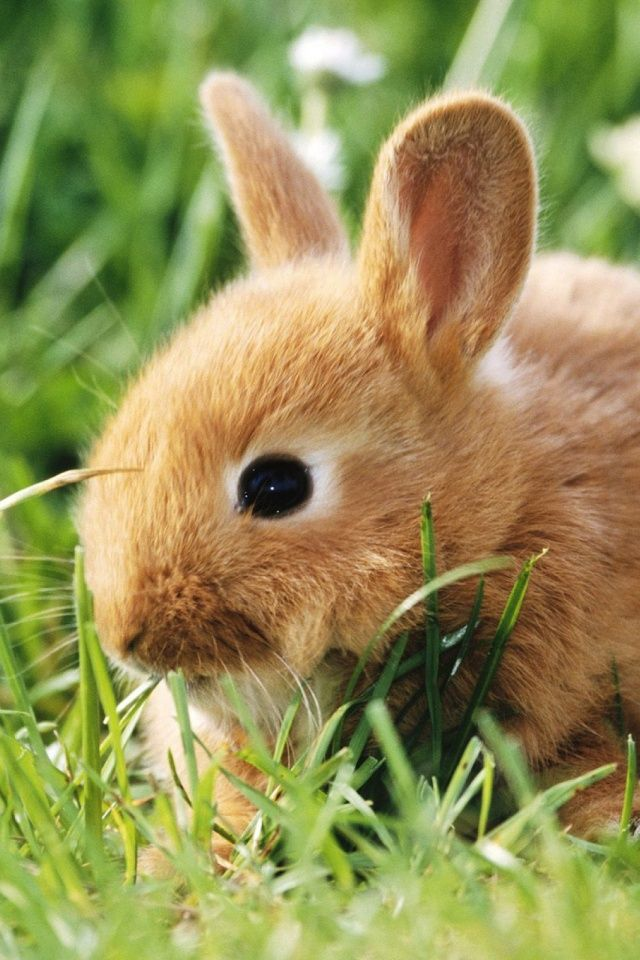 Little Brown Bunny in the Grass Mobile Wallpaper - Mobiles Wall