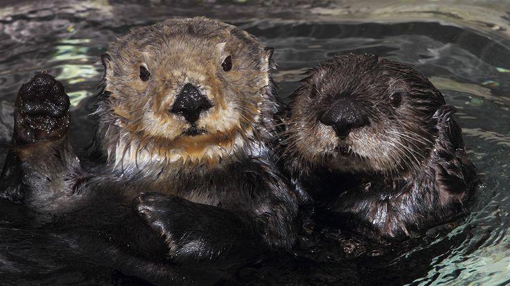 Skinned sea otter found dead in San Luis Obispo County