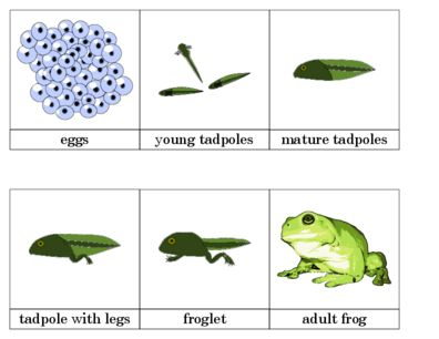 Life Cycle of a Frog: Pictures&Words