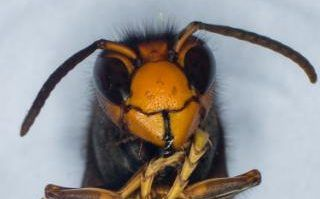 How honey bees are upping the anti against Asian hornets; in London at least.