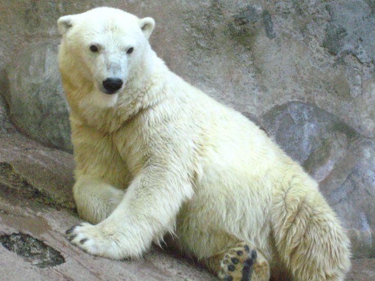 https://flic.kr/p/DeVCe | oso polar | zoologico de mendoza oso polar muerto de calor
