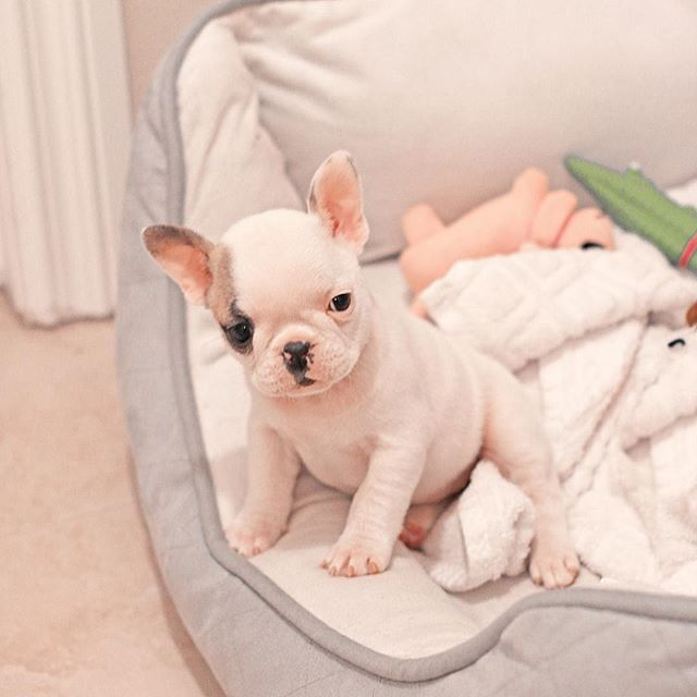 Hello, French Bulldog Puppy❤️                                                                                                                                                                                 More