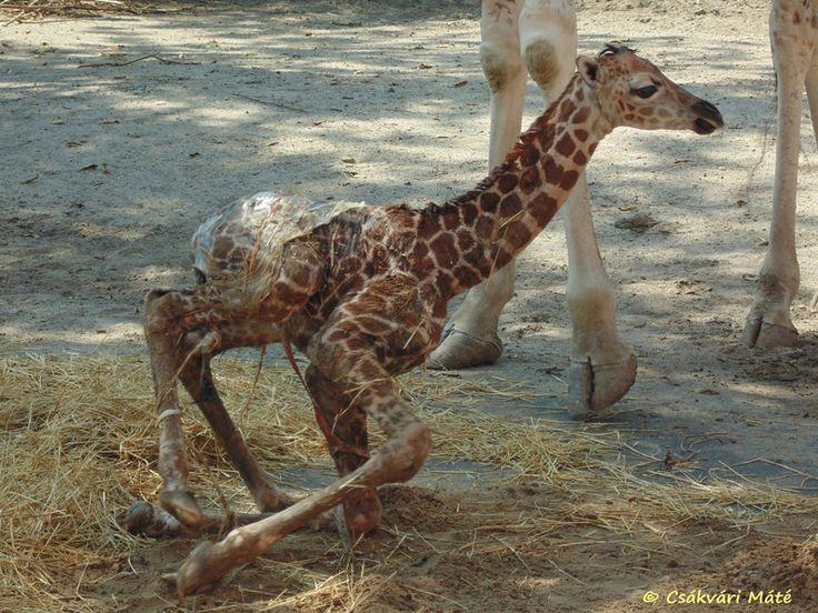 Giraffa camelopardalis rotschildi