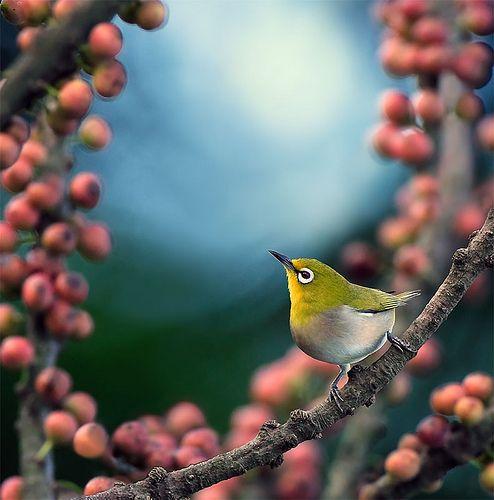http://www.lifepopularclothing.com/rusty-juniors-tux-shrug-sweater.html: Japanese White, Photos, Animals, Nature, Animal Photography, White Eyes, Beautiful Birds, Beauty