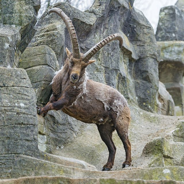 Ibex: Genus Capra, Family: Bovidae: goats or wild goats; 9 species including the wild goat, markhor and ibex; wild goats have mountain habitats; agile and hardy, can climb on bare rock and survive on sparse vegetation