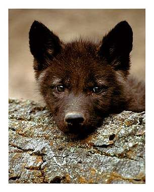 Cute Baby Puppies | Baby black wolf. - Save Our Dying Beauty For There Are Not Many Left.