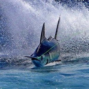 Superb Photograph of A Marlin!