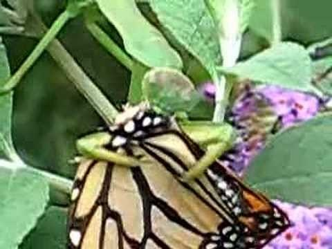 Butterfly predators - insects eat butterflies.  Video of praying mantis eating butterfly
