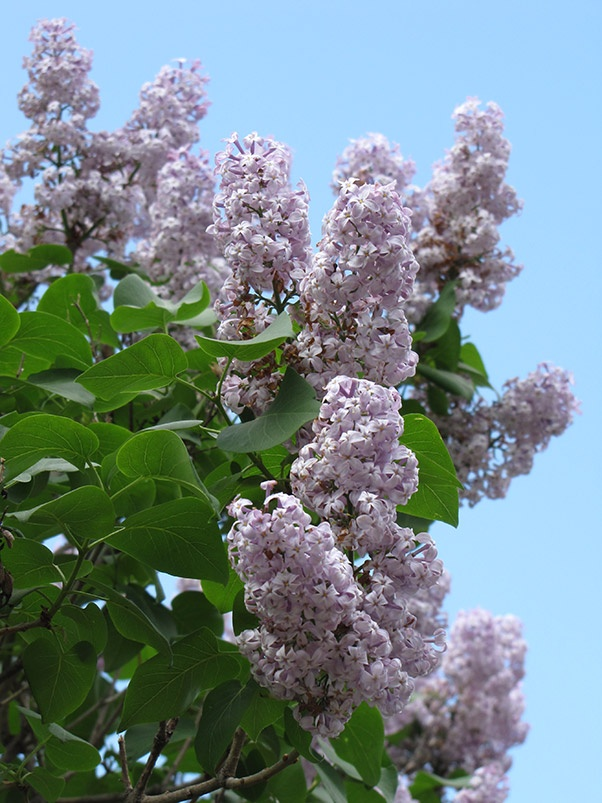 President Lincoln Lilac, 10' x 10', Zone 2a - Sunlight.