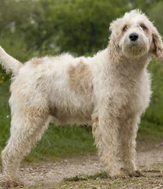 17 Best Briquet Griffon Vendeen Images On Pinterest Dog
