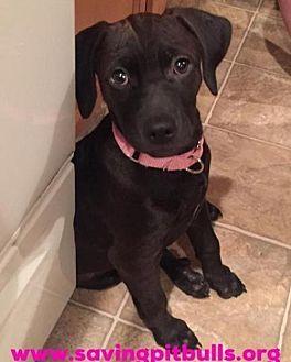 Pit Bull Terrier/Labrador Retriever Mix Puppy for adoption in Dallas, Georgia - Sassy