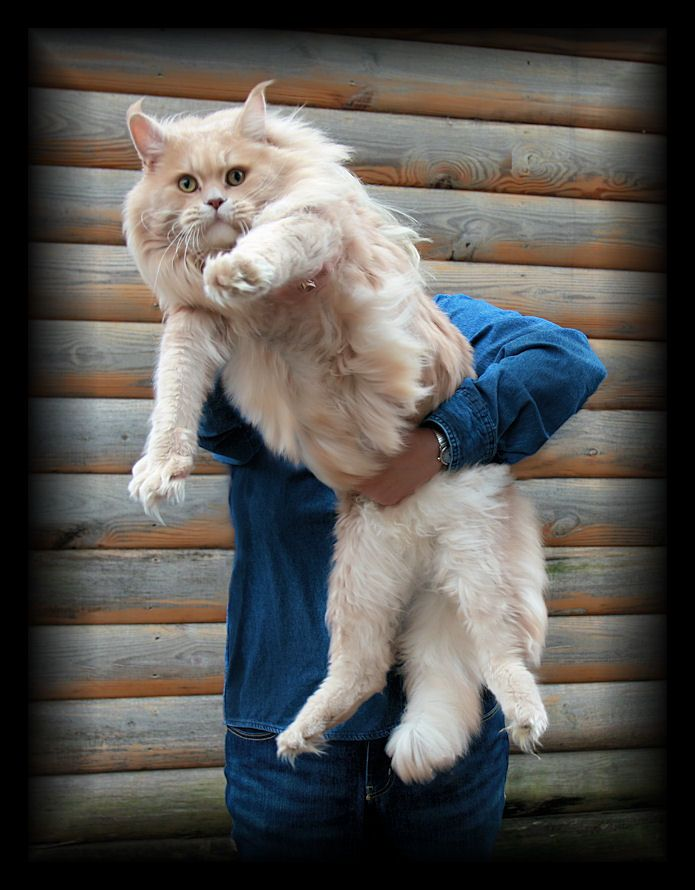 picture of a maine coon cat that is cream color maine