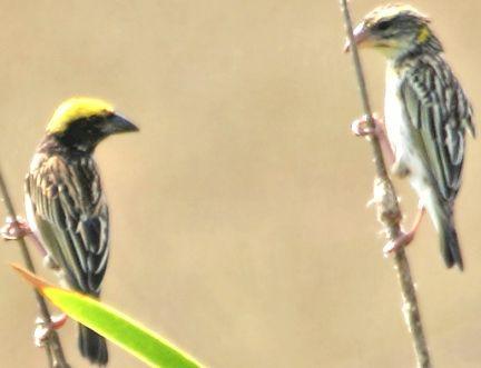 Download Burung Manyar, Download Kicau Burung Manyar, Download Kicau Manyar, Download Manyar, Download Mp3 Burung Manyar, Download Mp3 Kicau Burung Manyar, Download Mp3 Kicau Manyar, Download Mp3 Manyar, Download Mp3 Suara Burung Manyar, Download Mp3 Suara Kicau Burung Manyar, Download Mp3 Suara Kicau Manyar, Download Mp3 Suara Manyar, Download Suara Burung Manyar, Download Suara Kicau Burung Manyar, Download Suara Kicau Manyar, Download