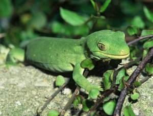 NZ Marlborough green gecko