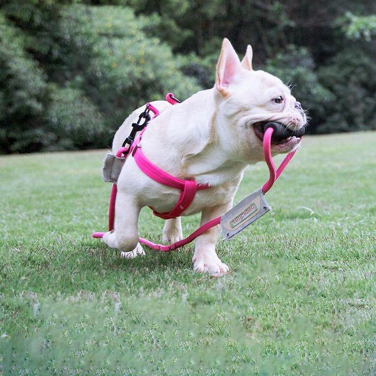 Frenchie World Orthopedic Harness Dog Dog Harness Dog Lovers