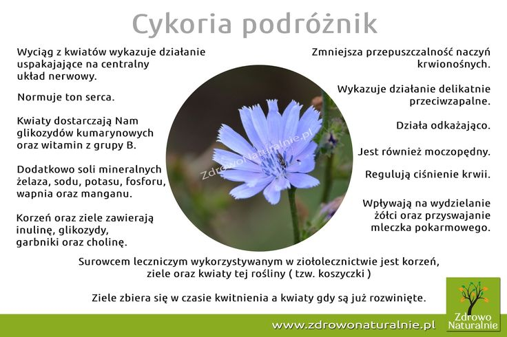 Cykoria podróżnik | ZdrowoNaturalnie.pl