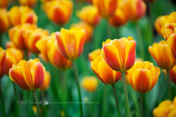 Orange tulips, Holland, Katka Pruskova Photography   www.pruskova.com