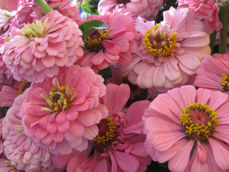 73 best blush light pink flowers images on pinterest pink beautiful light pink zinnias in seattle at pike place market by sher mightylinksfo