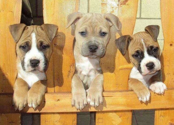 They look like pit boxer mixes
